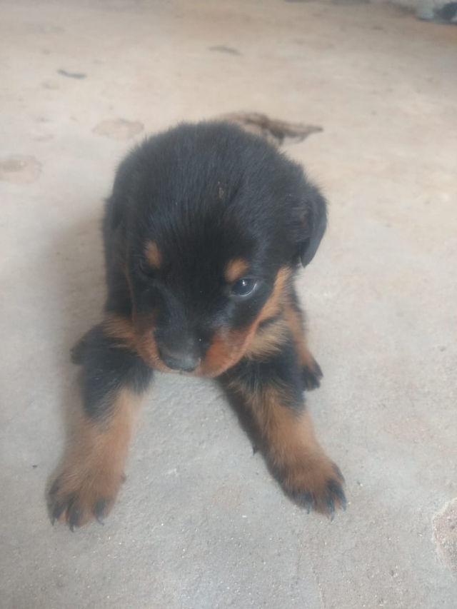 Pet Quality Rottweiler puppy for sale in Pollachi Tamilnadu