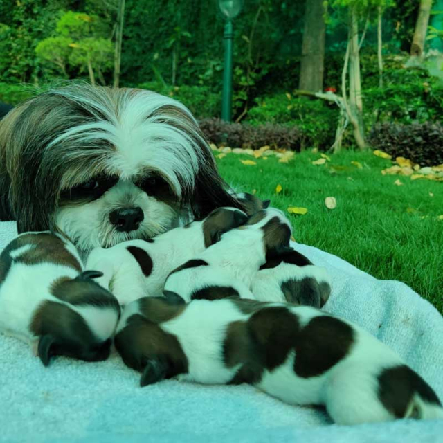 shih tzu Mother With Puppies