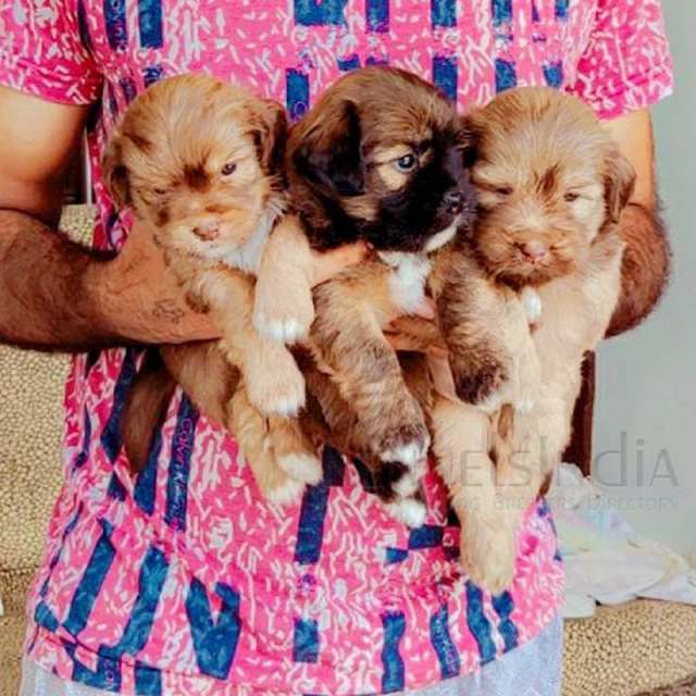 Top Show quality LHASA APSO puppies available in Sangrur, Punjab