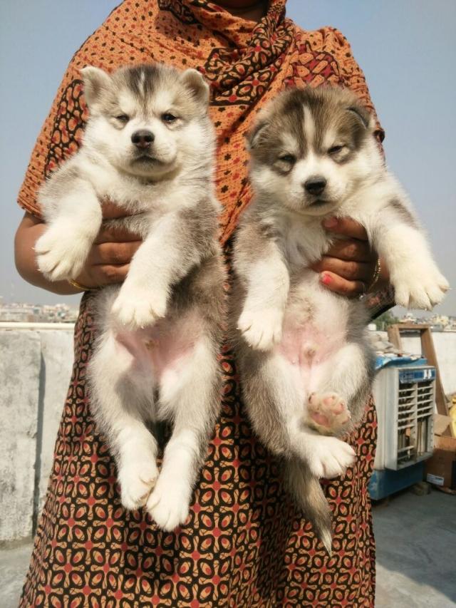 Sale in Delhi Husky Puppy