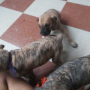 brindle great dane puppy for sale