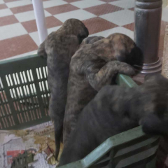 buy brindle great dane puppy for sale