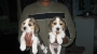 Male Beagle pups for sale in Mumbai