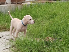 American Pitbull terrier female pup 4 months old for sale