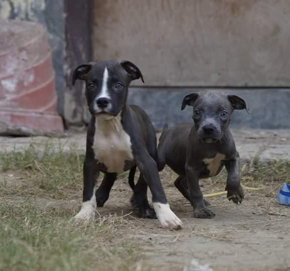 American pitbull male pups