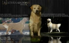 American Champion Golden Retriever puppies