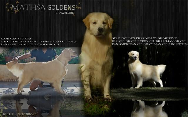 American Champion Golden Retriever puppies