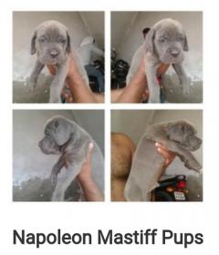 Neapolitan Mastiff Puppies for sale in Agra Uttar Pradesh