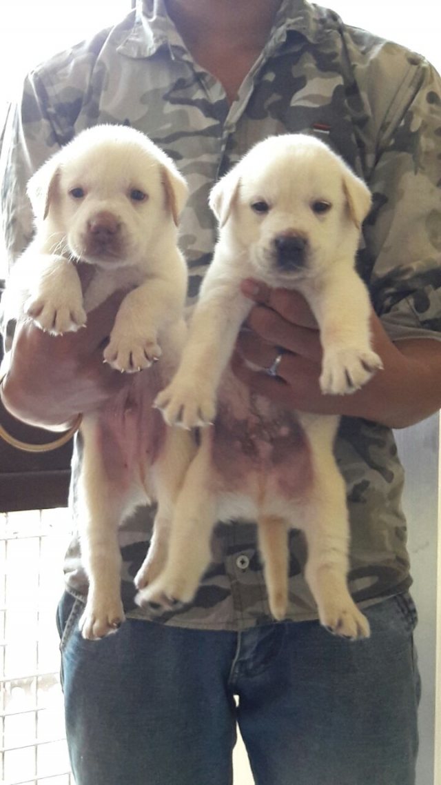 Male and female lab puppies for sale