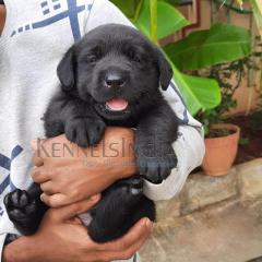 Labrador Retriever Puppies for Sale Bengaluru