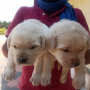 Lab Male and female puppies
