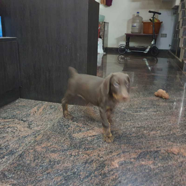 Best Quality Male Doberman puppy Available for sale in Bangalore