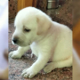 KCI Certified Male Labrador Puppy Available For Sale at Tiruppur