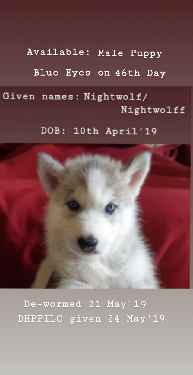 Siberian Husky Puppies for sale in Kolkata West Bengal