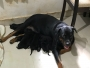 Rottweiler 30 days old puppies available for sale in coimbatore