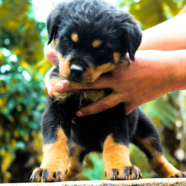 rottweiler puppies for sale in Kerala