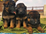 KCI Registered German Shepherd Puppies for Sale