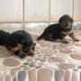 rottweiler puppy in coimbatore