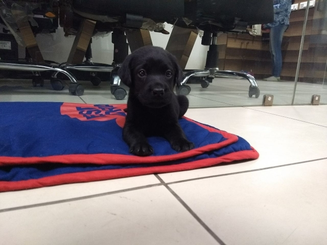 Pure Labrador Retriever puppy for sale in Ahmedabad