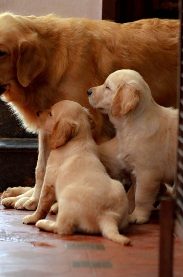 Golden Retriever Puppy For In Chennai