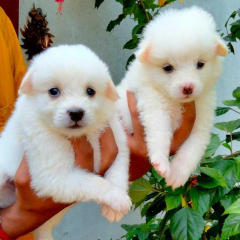 Pure Top quality Pomeranian Puppies for sale in Tiruppur