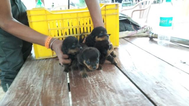 Rottweiler pups for sale in Gautam Buddha Nagar Uttar Pradesh