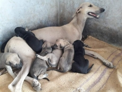 Chippiparai Kanni Rajapalayam Native breed puppies for sale