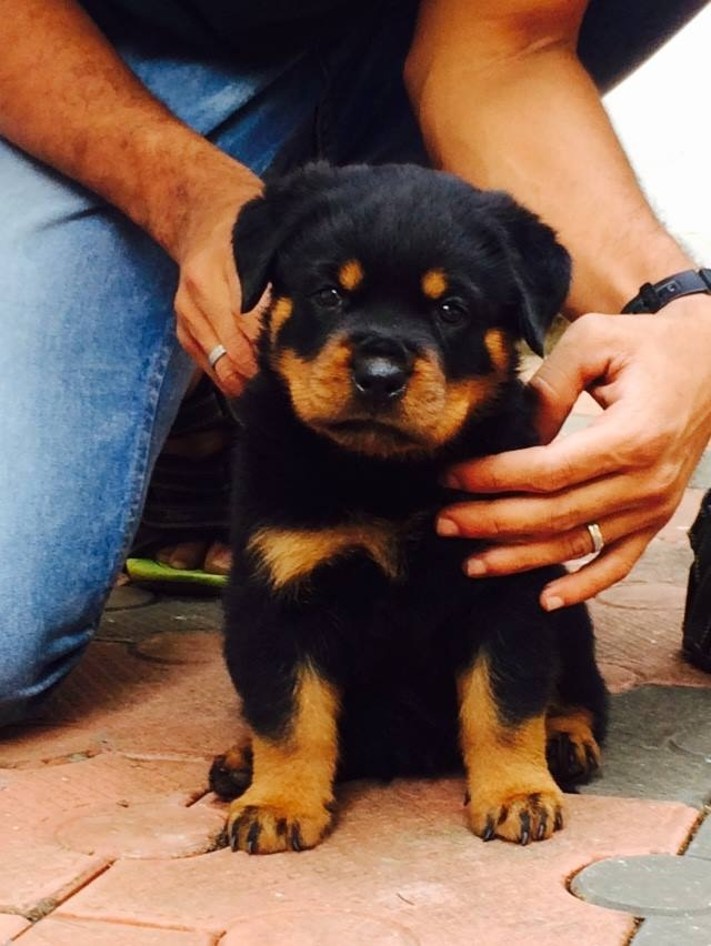 Strong Lineage Rottweiler puppies available for sale in Calicut