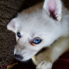 Male Siberian Husky Puppy Available for sale in Chennai