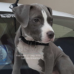 American bully in india