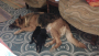 KCI Registered GSD Puppies For Sale in Lucknow