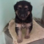 Long Coat Heavy Bones Female German Shepherd For Sale