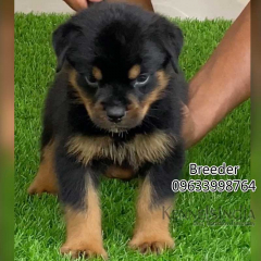 Extraordinary Male Rottweiler Puppy available in Calicut Kerala