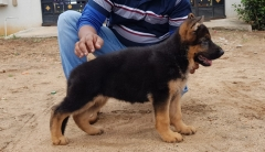 at 60 days. German Shepherd puppies for sale in Coimbatore