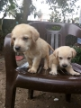 KCI registered labrador puppies for sale in Ernakulam
