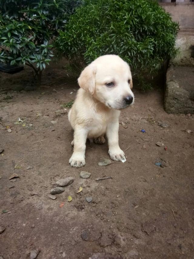 Kci Registered Labrador Puppies For Sale In Ernakulam Kerala