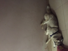 Pet Quality Siberian Husky adult for sale in Bengaluru Karanataka