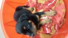 Rottweiler Male puppy for sale in Karkardooma Delhi