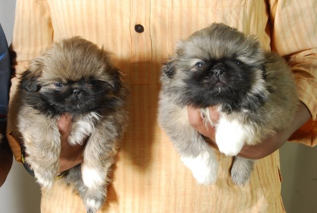 KCI Regd Pekingese pups Available for loving Homes Bengaluru