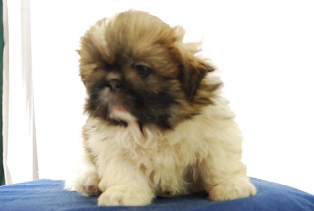 Pekingese puppy photos india