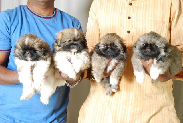 Pekingese dog breeders bengaluru
