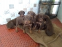 doberman puppies coimbatore