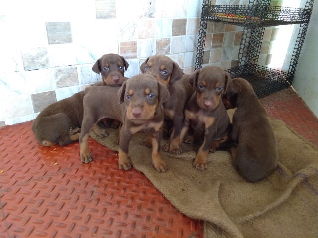 doberman puppies coimbatore