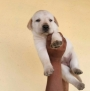 Labrador retrievers puppies available in Ahmedabad
