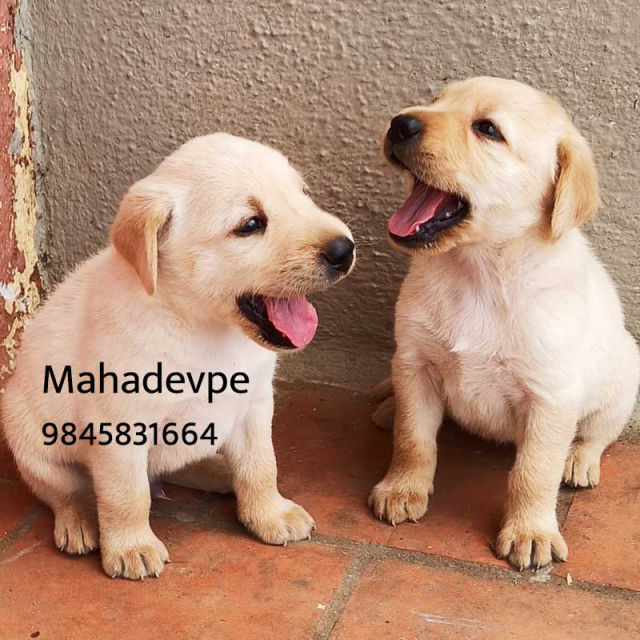 Top Quality Labrador Puppies for Sale in Kodagu Karnataka