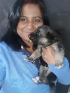 Male German Shepard puppy