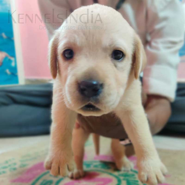 Male and Female Lab Puppies available for salein Chennai