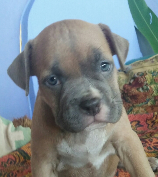 American pocket bully top pups for Sale in Goa