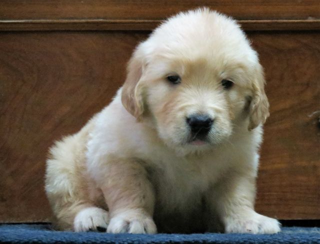 Adorable Golden Retriever puppies available in Bangalore