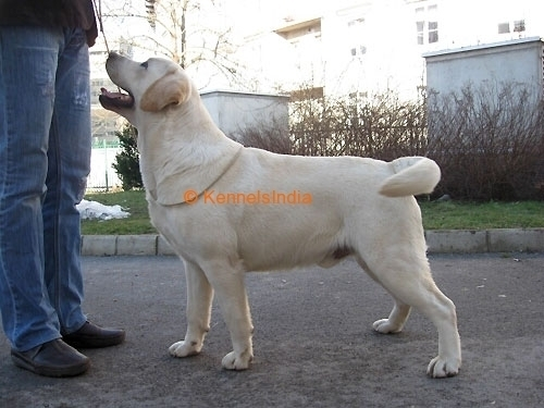 Good Show quality Labrador pups for Sale in calicut